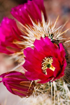 fuchsia flower: Englemanns Hedgehog cactus is one of the most common hedgehog cacti found in the southwestern deserts. Its purple to magenta flowers and four well-armed central spines help to identify it.