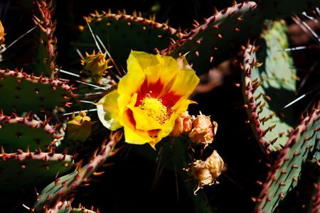 detach: Prickly pear cacti typically grow with flat, rounded platyclades  that are armed with two kinds of spines; large, smooth, fixed spines and small, hairlike spines called glochids, that easily penetrate skin and detach from the plant. Stock Photo