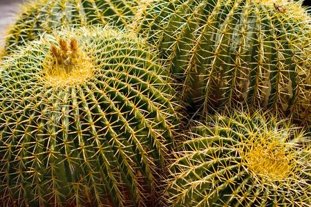 cactus species: Golden Barrel Cactus, Golden Ball or, amusingly, Mother-in-Laws Cushion (Echinocactus grusonii) is a well known species of cactus native to central Mexico.