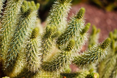 cholla: The teddy bear cholla is named for its furry cuddly appearance but is actually a densely spined plant. Stock Photo