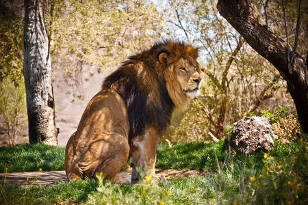 Male lion sitting in the trees photo