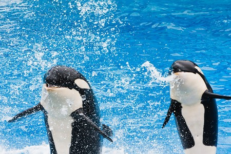Killer whales jumping in the air and spitting at the crowd.