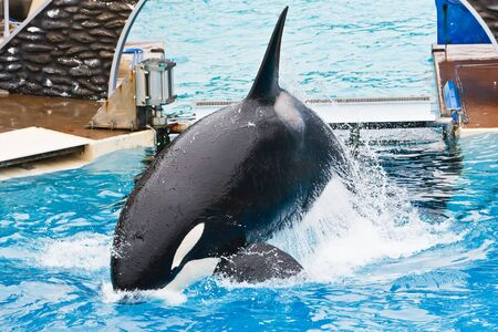 Shamu the killer whales featured in the inspirational show of tricks called Believe