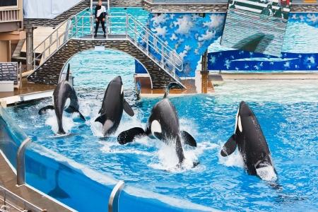 SAN DIEGO - 9 JULI: Shamu en andere orka's komen aan bod in de inspirerende show van trucs Believe. 9 juli 2010 in San Diego, Californië