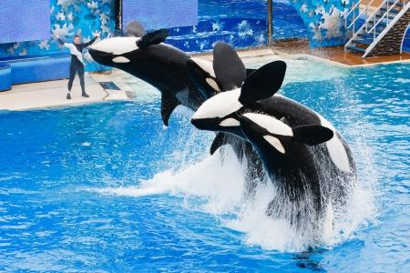 SAN DIEGO - 9 lipca: Shamu i inne wieloryby killer są wyróżnione w wytworne Pokaż wskazówki o nazwie Believe. 9 Lipca 2010 roku w San Diego w Kalifornii