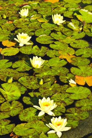 Water lily on a calm lake photo