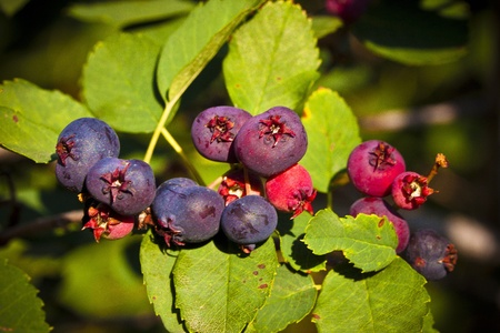 pome: Saskatoon berries contains high sources of antioxidants.  The fruit is a small purple pome ripening in early summer.