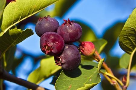 サスカトゥーンベリーには高抗酸化成分が含まれています。 果実は初夏の熟成小さな紫ナシです。