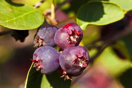 Saskatoon jagody zawiera wysokiej źródeÅ' przeciwutleniaczy.  Owoc jest MaÅ'e purpurowe owoce ziarnkowe dojrzewanie w wczesnym latem. Zdjęcie Seryjne