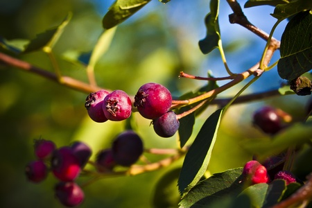 rosales: The saskatoon berry, serviceberry, sarvisberry or juneberry is a shrub with edible berry-like fruit, native to North America.