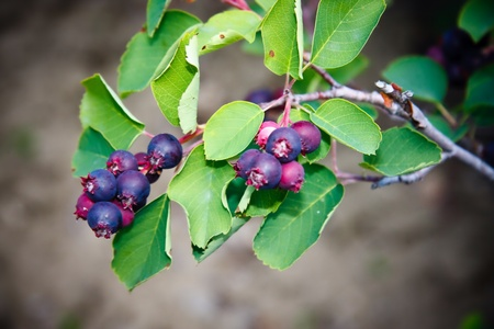 Saskatoon Berry plant and fruit