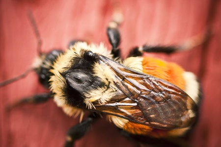 Bumble bee sitting on a red stained wood fence
