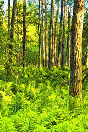 Fern plants cover the ground of the natural forest Stock Photo - 10058774