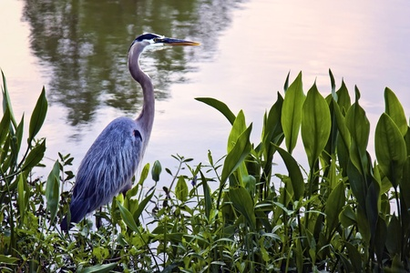ardeidae: The Great Blue Heron (Ardea herodias) is a large wading bird in the heron family Ardeidae, common near the shores of open water and in wetlands over most of North and Central America.