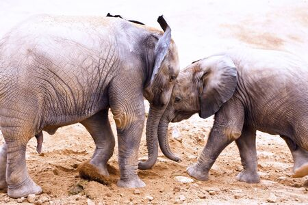 Pair of young elephants head butting each other photo
