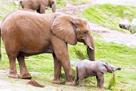 Mother and a young baby elephant
