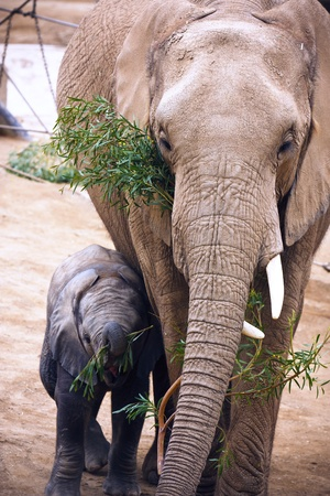 Mother and a young baby elephant photo