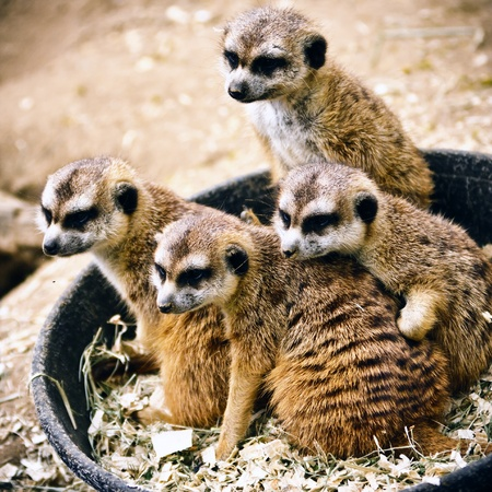 Family of meerkats watching the visitors of their zoo photo