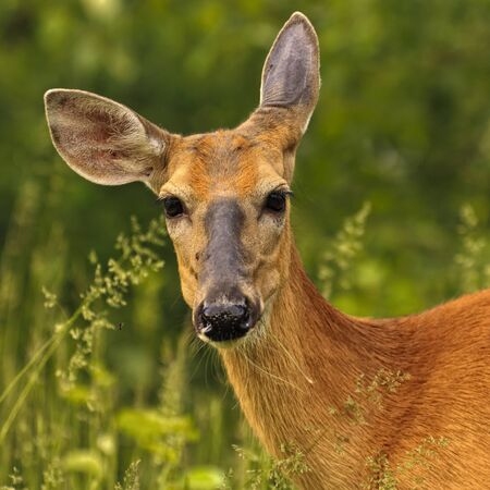 Young white tailed deer in the tall green grass photo