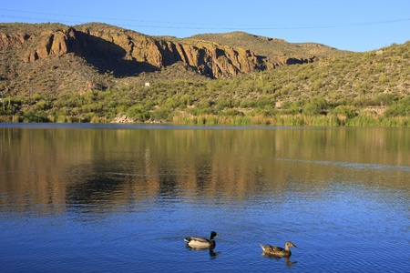 Male and female mallard ducks on the calm lake