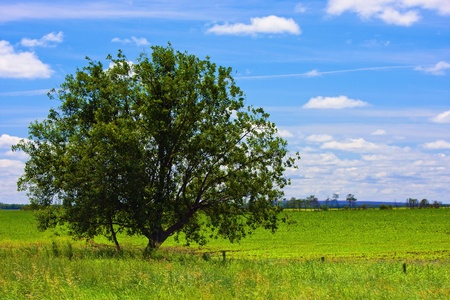 Large tree alone on the open green field Stock Photo - 12553323