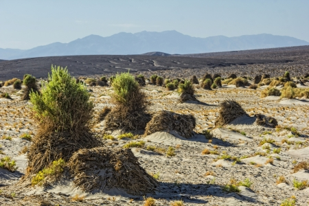 national plant: A stalk of plant in the Devils Cornfield in Death Valley National Park, California Stock Photo