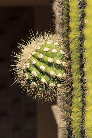 Details of a green desert cactus in the sonaran desert. Banco de Imagens