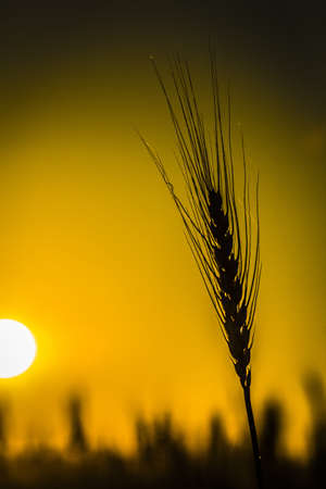 Silhouette of ripe wheat against the sun photo