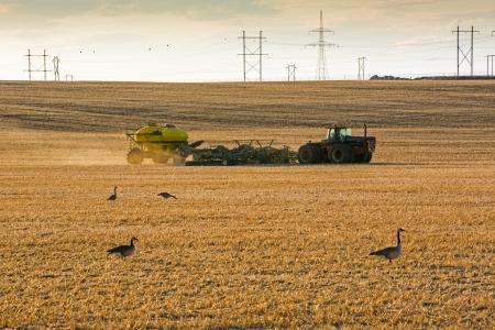 seeding: Ducks in the field as a farmer starts seeding his crop in spring