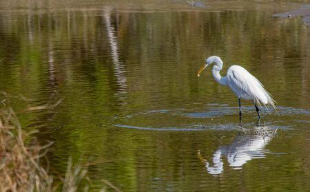 Great White Egret feeding Banco de Imagens