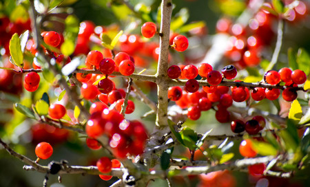 Red Berry tree on the Mississippi Coast.
