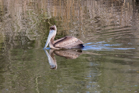 Young pelican feeding in a park