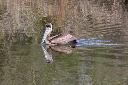 Pelican feeding in the bayou