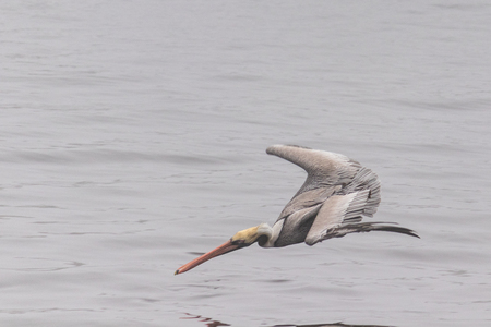 Pelican diving for a fish