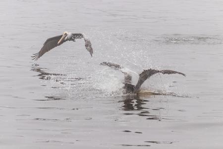 Two Pelicans diving for fish Banco de Imagens