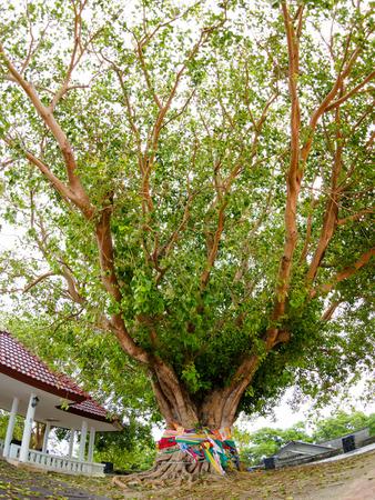 peepal: Big Bodhi Tree at Phromthep Cape phuket Thailand