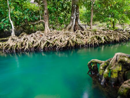 thapom: Green water lakes river waterfall with root tree at Tha Pom Klong Song Nam, Krabi, Thailand