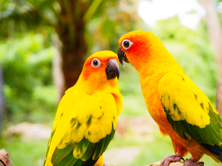 wil: Sun Parakeet or Sun Conure, the beautiful yellow and orange parrot bird with nice feathers details at Songkhla Thailand