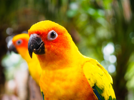 wil: Close up head of Sun Parakeet or Sun Conure, the beautiful yellow and orange parrot bird with nice feathers details at Songkhla Thailand