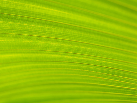 Closeup of Green and yellow palm leaves texture background of Licuala pelota Roxb tree
