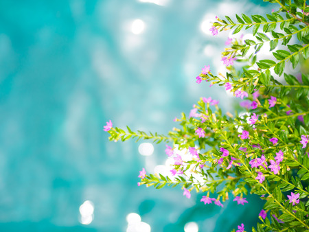 Soft focus beautiful purple Cuphea hyssopifolia flower with blue and green water background. Stock Photo