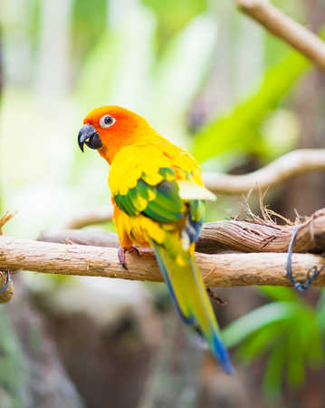 Sun Parakeet or Sun Conure, the beautiful yellow and orange parrot bird with nice feathers details. Foto de archivo