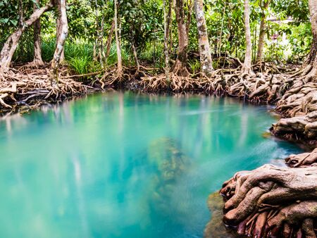 Scenic mangrove forest ecosystem with Mangrove roots and blue water at Krabi, Thailand.