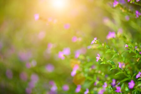 Soft focus beautiful purple Cuphea hyssopifolia flower Stock Photo