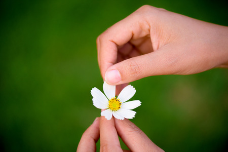 Close up woman hand tears off petals of daisy flower. Stock Photo