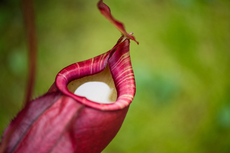 Close up of Nepenthes also called tropical pitcher plants or monkey cups in the plant nursery garden dangerous plant for insect. 免版税图像