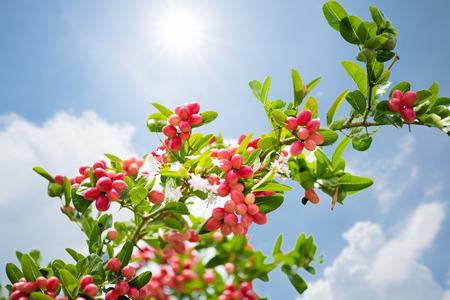 Bengal Currants or Carandas, Karanda plum. Bengal Currant is the red fruit of Thailand. Herb fruit and high vitamin.
