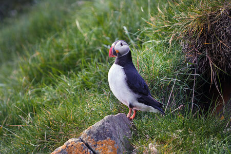 burrows: Atlantic puffin on the island of Mykines, Faroe archipelago . They breed in large colonies on coastal cliffs or offshore islands, nesting in crevices among rocks or in burrows in the soil.