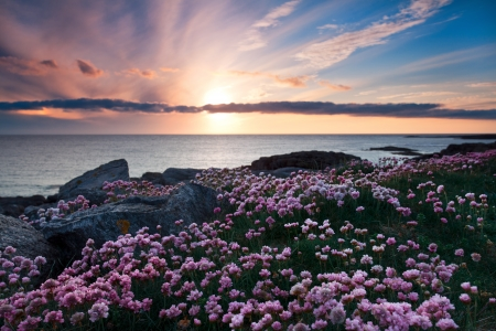 Colorful sunset over the coast of Barra, Outer Hebrides of Scotland . Pink flowers in foreground .