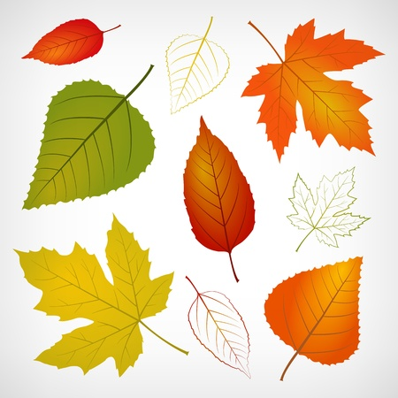 chokeberry: Autumn vector leaf illustration isolated from background